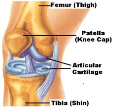 c52ebb3c66 Damage to the articular cartilage can lead to pain, catching, locking and a  feeling of instability of the knee joint. Damage can be partial or full ...
